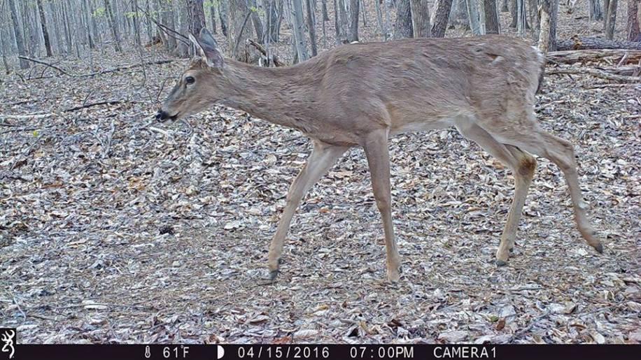 game_camera_deer