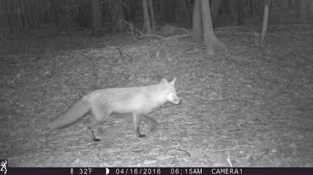 game_camera_fox