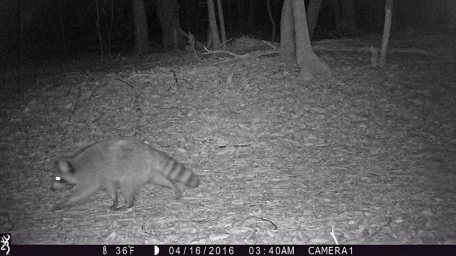 game_camera_racoon